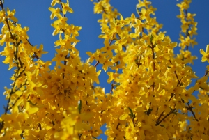 Yellow blossoms, blue sky