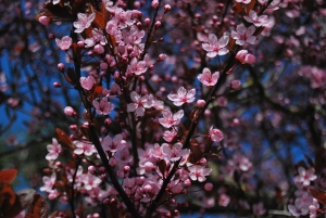 Pink blossoms, blue sky