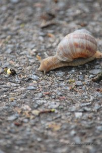 You'll meet several of these giant snails whenever your out walking in the morning.