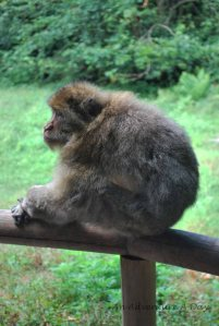 A Barbary Macaque perched on the fence that separates visitor from monkey habitat.