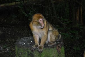 A Barbary Macaque watches the visitors from his woodland perch.