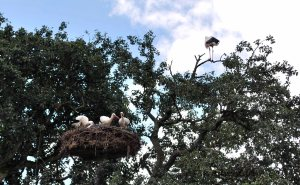 Storks gathered in a nest atop a pole in Affenberg.