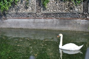 One of the swans at the Garzoni Garden - they look peaceful enough, from a distance!