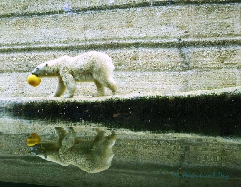 Polar bear in Munich's Tierpark Hellabrunn