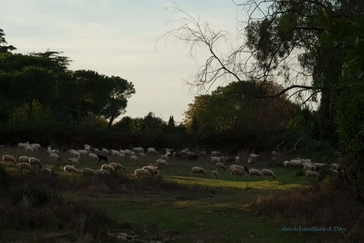 An unexpected sight, sheep graze in Rome, near the Apian Way.