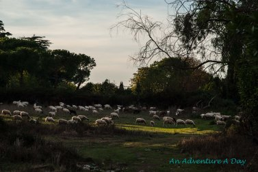 You probably don't expect to encounter flocks of sheep and goats on the outskirts of Rome.