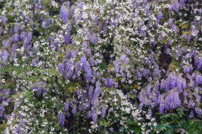 capitoline blossoms_edited-1001