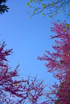 Spring is just arriving in Rome and the blossoms are beginning to appear everywhere.