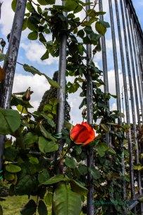still some roses_edited-1001