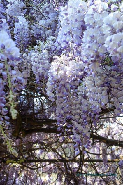 wisteria blossoms again