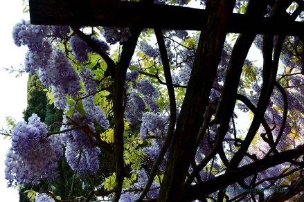 wisteria canopy